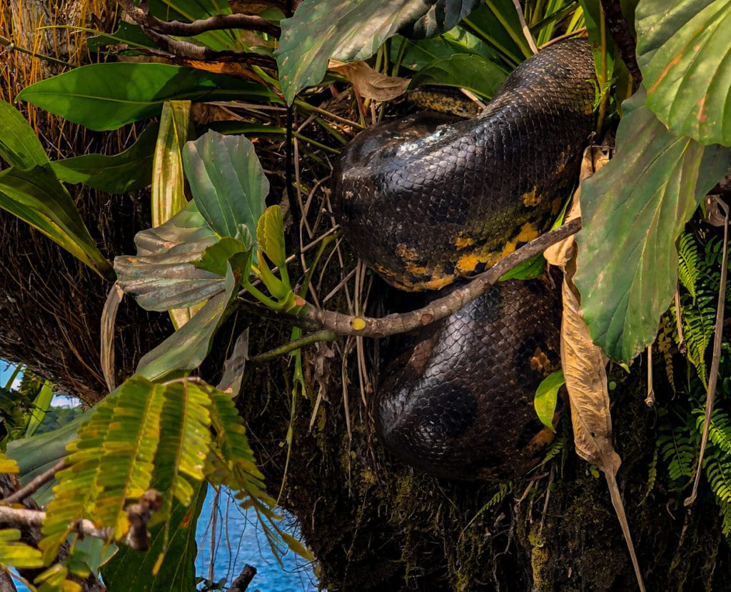 Anaconda found in a tree in Cuyabeno Rerserve, Ecuador.
