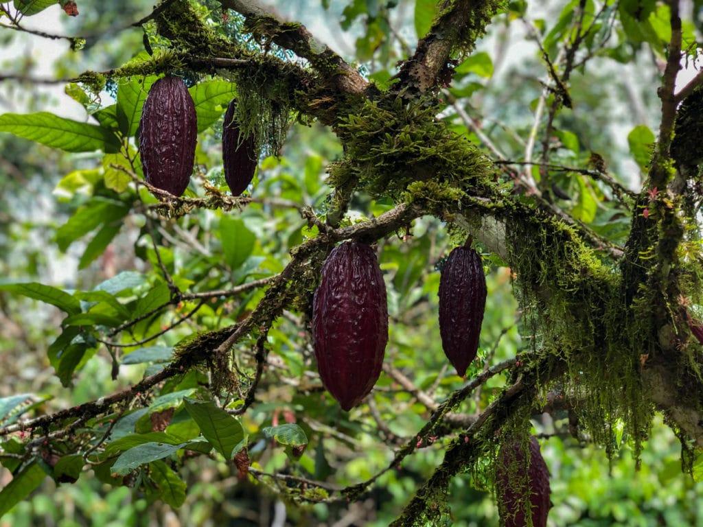 Cacao Fruit in Cuyebeno Reserve Ecuador