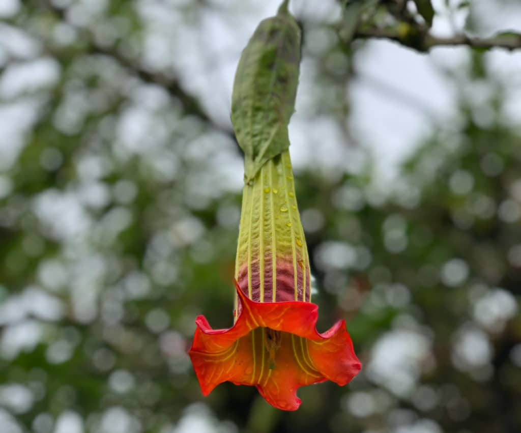 Flowers at Cajas National Park