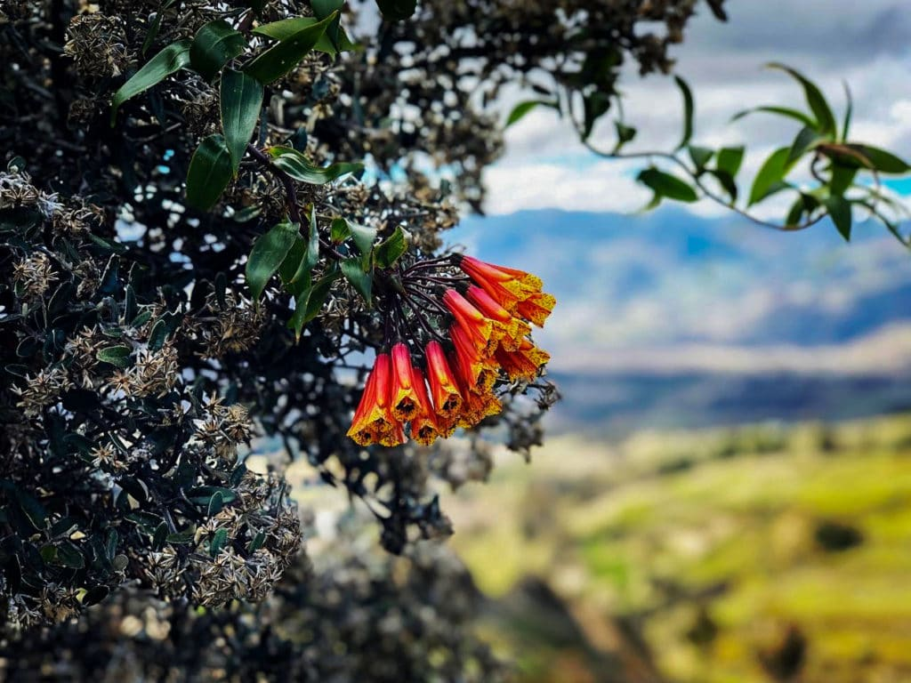 Flowers in Quilotoa