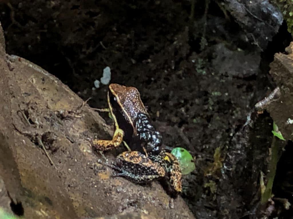 Frog in Cuyebeno Reserve in Ecuador
