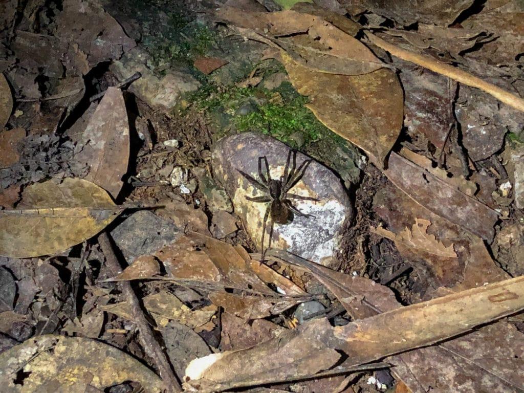 Spider in Cuyebeno Reserve in Ecuador
