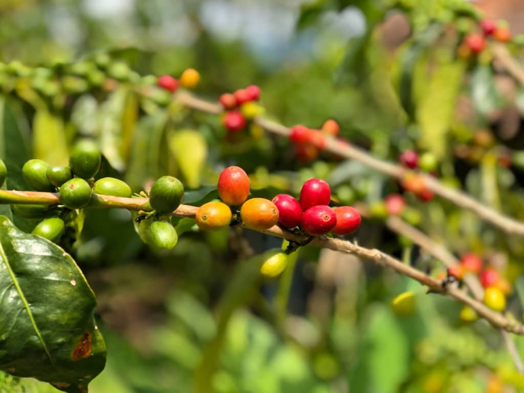 Coffee Beans in Salento Colombia