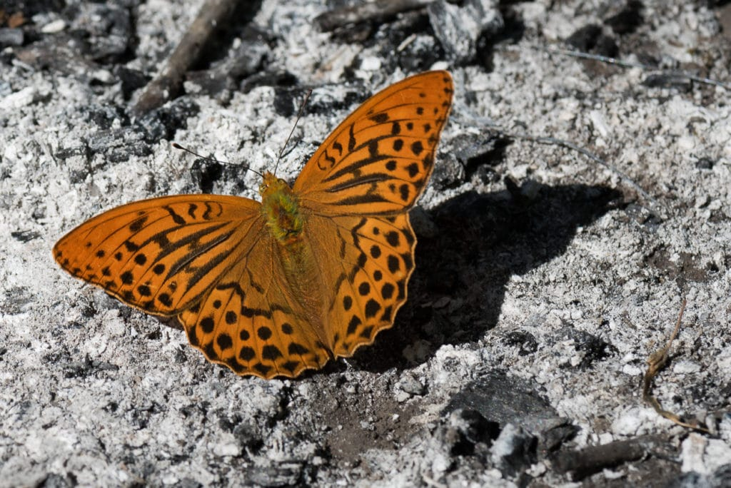 Silver-Washed Fritillary Butterfly found in Robertsau Forest Strasbourg