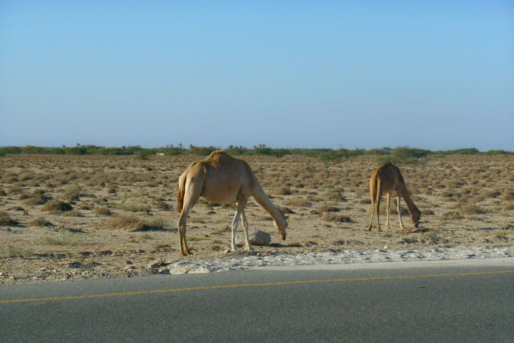 Camels on the side of the road in Masirah Island Oman